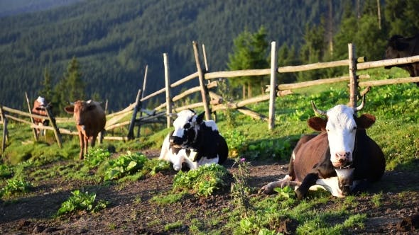 Thumbnail for Cows on Sunny Meadow