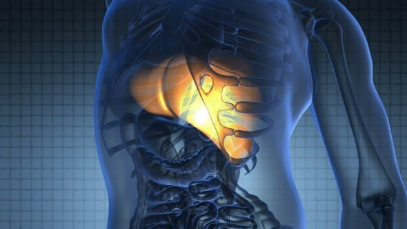 Anatomy Scan Of Human Liver By Icetray On Envato Elements