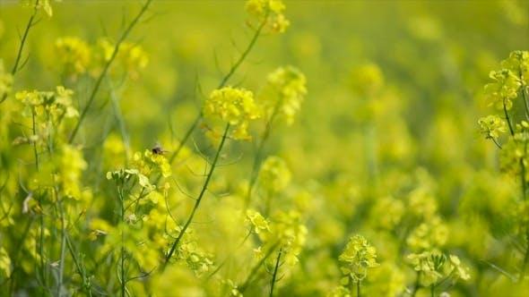 Thumbnail for Senfblüten. Senf — Mystische Blume des Glücks und der Gesundheit.