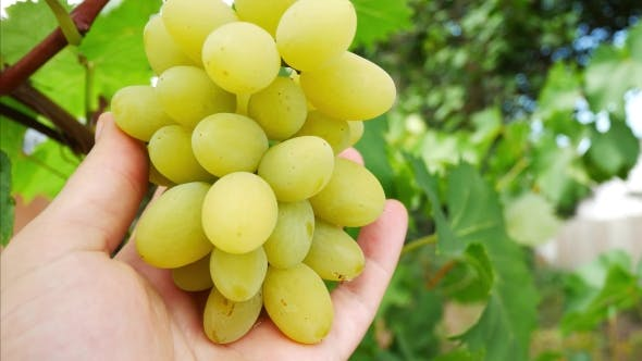 Thumbnail for Farmer's Hand Grabs a Bunch of White Grapes