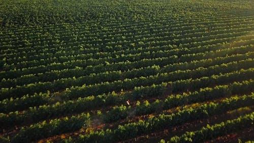 The Tuscan Vineyard