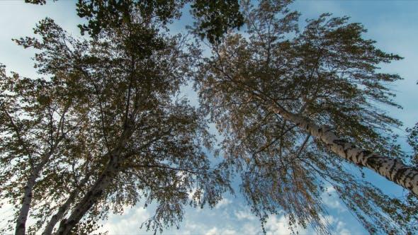 Thumbnail for Birkenbäume