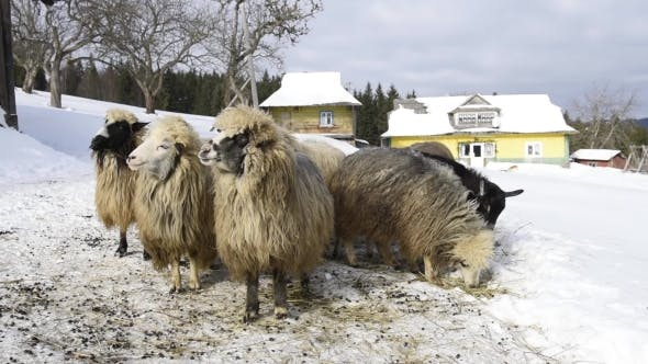 Cover Image for Fluffy Sheeps near House
