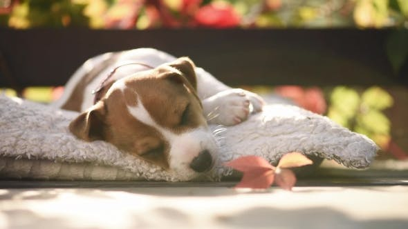 Thumbnail for Jack Russel Terrier Puppy Sleeping