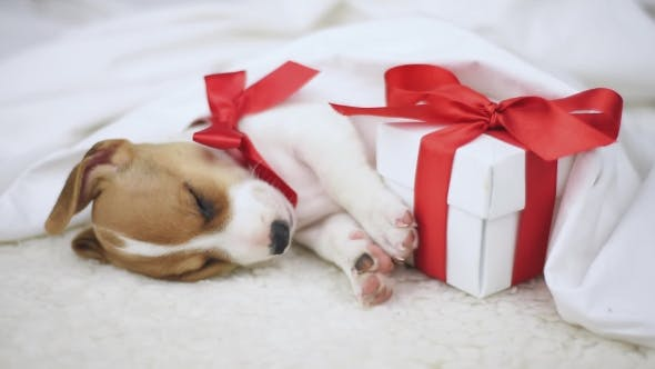 Cover Image for Jack Russel Terrier Puppy Sleeping