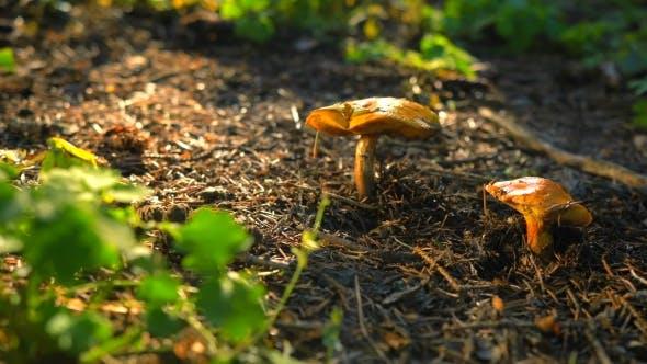 Edible Mushrooms. Food Delicacy.