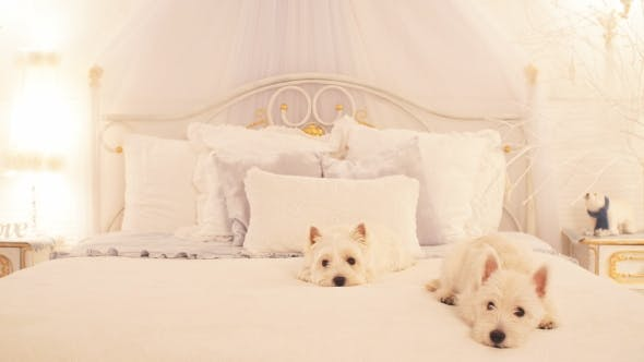 Thumbnail for Two Small Dogs on the Bed in Bedroom