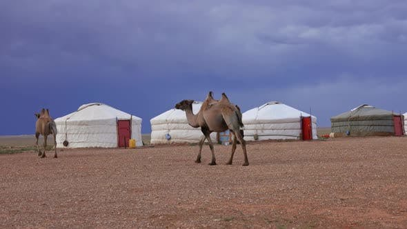 Camels and Yurts in Mongolia