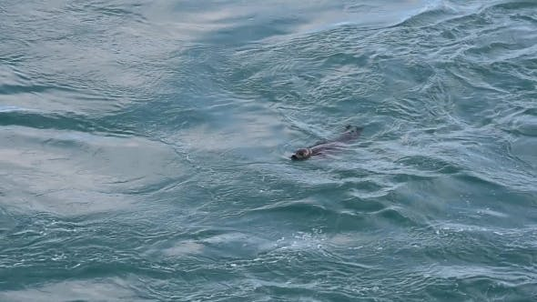 Thumbnail for Fur Seal in Jokulsarlon Glacial Lagoon
