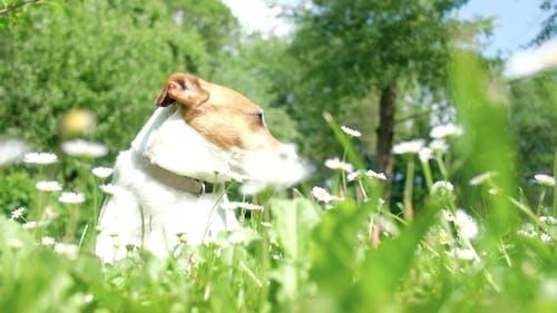 White Jack Russel Terrier in Flowers.