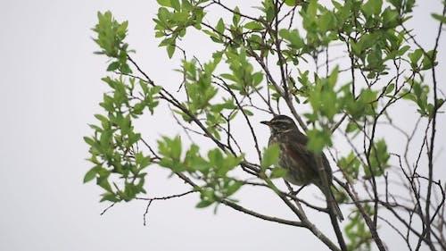 Singing Vogel auf einem Baum Zweig