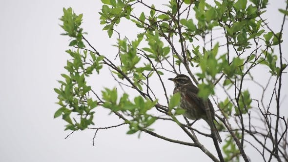 Cover Image for Singing Bird on a Tree Branch