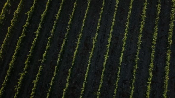 Thumbnail for Chianti Vineyard
