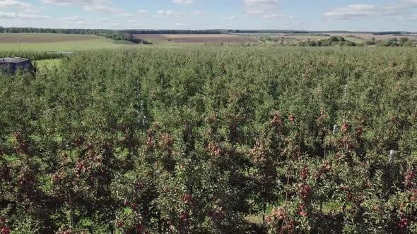 Thumbnail for Ripe Apple Trees
