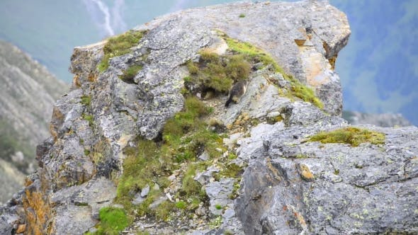 Cover Image for Marmot on Rock