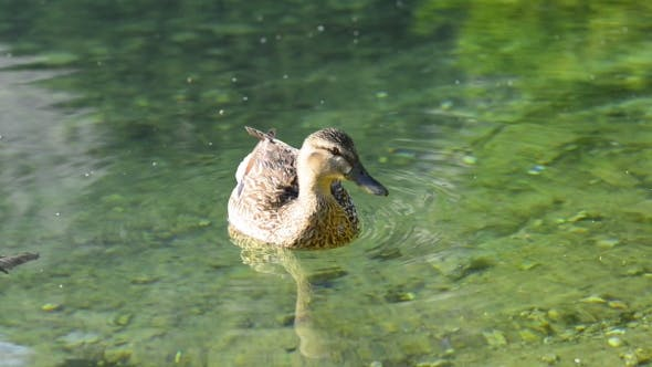Cover Image for Duck on Lake Water