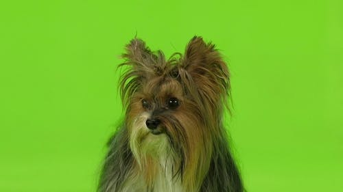Dog Shows the Language. Green Screen.
