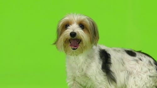 Hund zeigt die Sprache. Grüner Bildschirm.