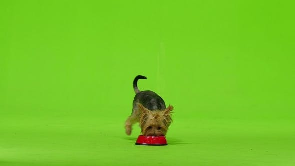 Thumbnail for Yorkshire Terrier with a Tail Eats. Green Screen.