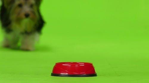Yorkshire Terrier Eats. Green Screen.