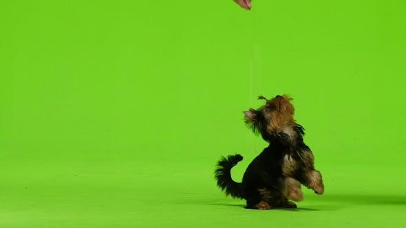 Thumbnail for Dog on His Hind Legs Asks for Food. Green Screen.