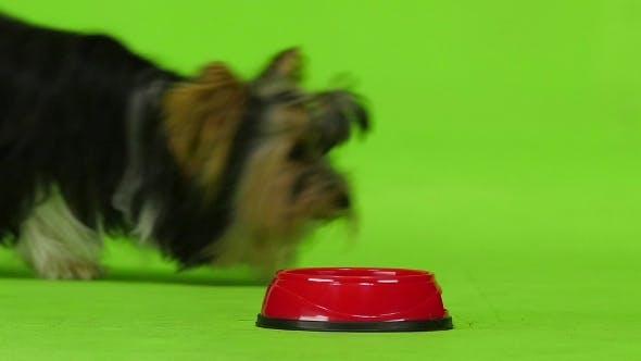 Thumbnail for Dog Eats. Green Screen.