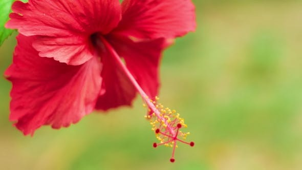 Thumbnail for Single Red Hibiscus Flower Slightly Swinging on the Wind