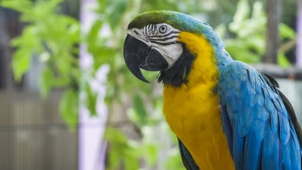 Thumbnail for Blue Yellow Macaw Parrot