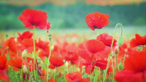 Thumbnail for Wild Red Poppy Flowers on Field, Trees on Background