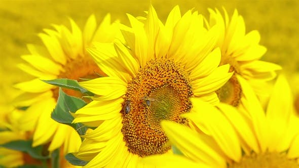 Bee Flying and Pollinating Sunflower