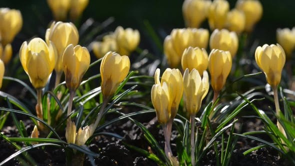Thumbnail for The Yellow Crocus Flowers