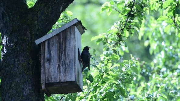 Thumbnail for Starling Near Her House