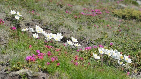 Thumbnail for Beauty White Flowers in High Mountains