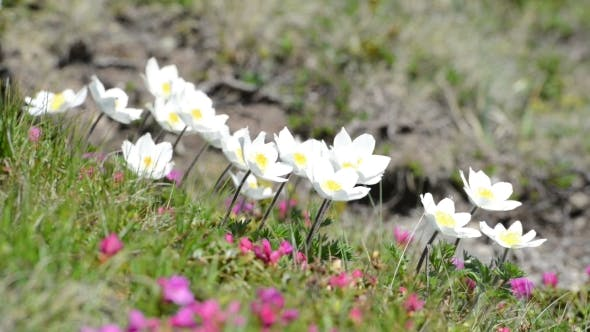 Cover Image for Beauty White Flowers in High Mountains