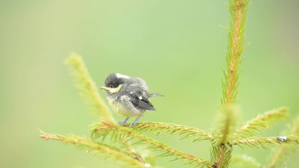 Cover Image for Small Bird on Fir Tree