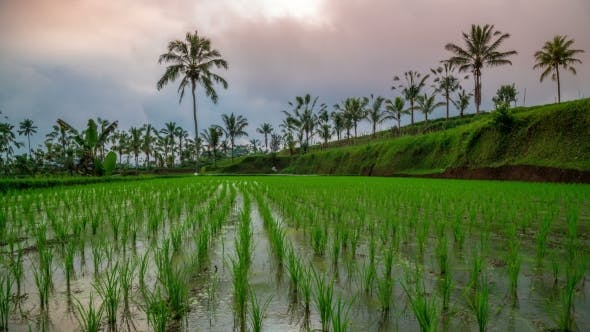 Cover Image for Clouds Over a Young Rice Field on Bali Island, Indonesia
