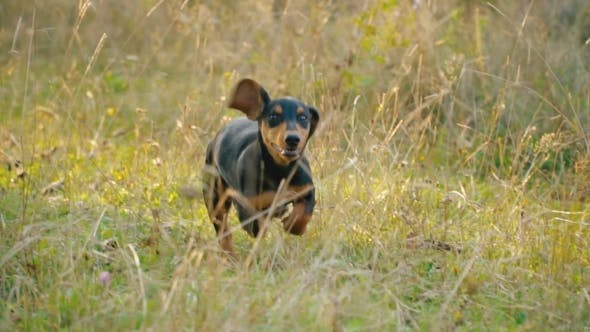Thumbnail for the Dog of the Dachshund Breed Runs