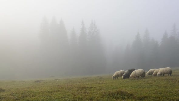 Cover Image for Herd of Sheeps in Foggy Meadows