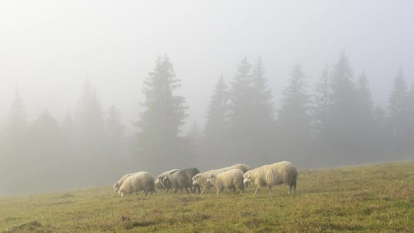 Thumbnail for Herd of Sheeps in Foggy Meadows