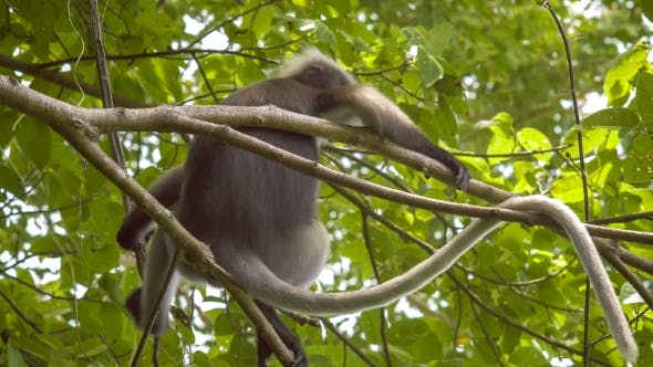 Of Dusky Leaf Monkey Langur On Tree Eating Green Leaves And