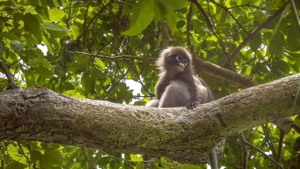 Thumbnail for Jung Dusky Leaf Monkey, Langur in Forest Playing with an Other, Railay, Krabi, Thailand