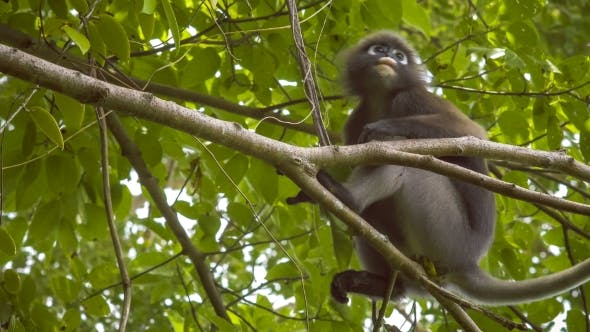 Dusky Leaf Monkey Langur On Tree Eating Green Leaves And
