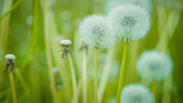 Thumbnail for Dandelion Field  Over Nature Green Blurred Background