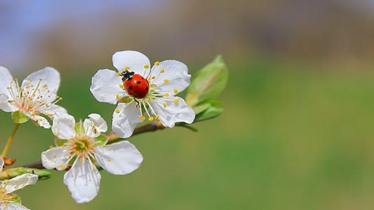 Thumbnail for Ladybug On A Flower