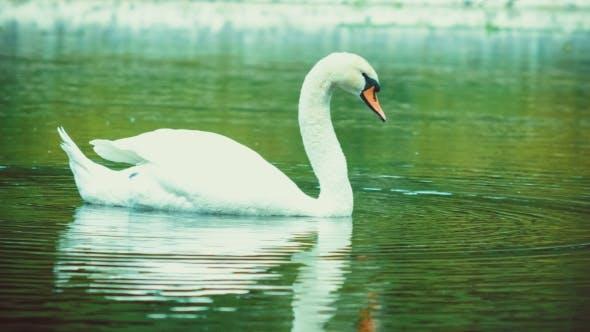 Thumbnail for Single White Beautiful Swan Swiming in Lake, Water Reflection