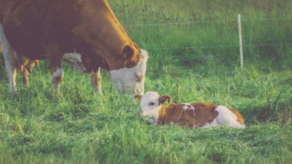 Thumbnail for White Brown Cow with His Lamp Laying on Grass and Resting, Green Grass on Background
