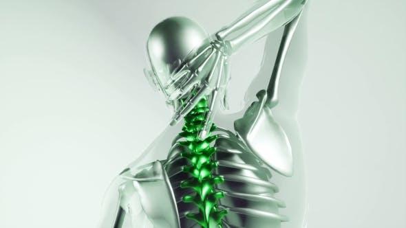 Thumbnail for Human Spine Skeleton Bones Model with Organs