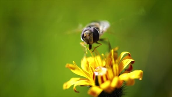 Thumbnail for Wasp Collects Nectar From Flower Crepis Alpina