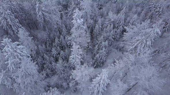 Thumbnail for Gipfeln der Bäume im Schnee