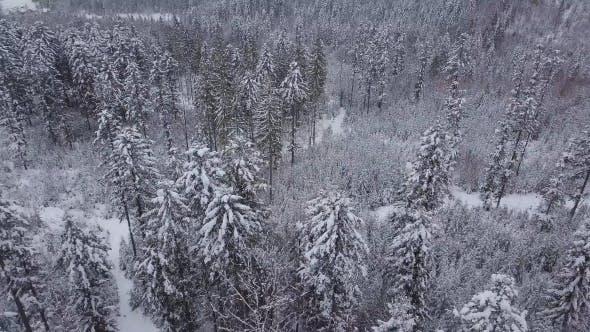 Thumbnail for Evergreen Trees in Silent White Winter